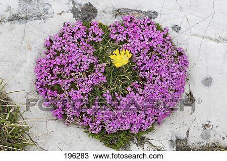 Stock photo of cushion pink moss campion silene acaulis cushion pink moss campion silene acaulis flowering plant austria mightylinksfo