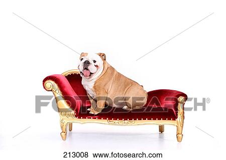 Images - anglaise, bulldog., chienne, séance, sur, a, chaise, longue on chaise furniture, chaise sofa sleeper, chaise recliner chair,