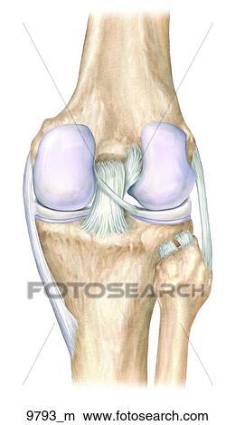 Dessins droit genou ligaments post rieur unlabeled 9793 m recherche de clip arts d - Dessin du genou ...