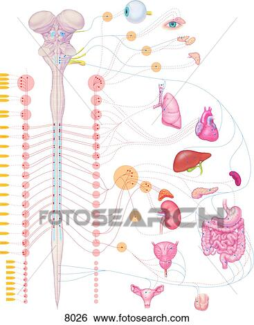Stock Illustration of Autonomic Nervous System Spinal Cord and ...