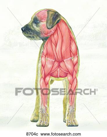 Stock Illustrations of Canine Muscular System Cranial View Unlabeled ...