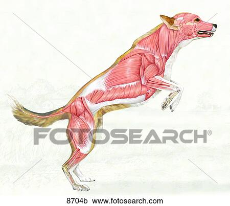 Stock Illustrations Of Canine Muscular System Lateral View Unlabeled