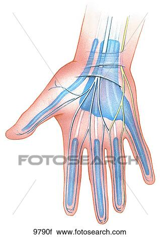 Clipart of Carpal Tunnel Syndrome Unlabeled 9790f - Search Clip Art ...
