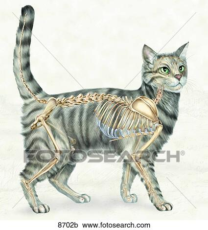 Stock Illustrations of Feline Skeletal System Lateral View Unlabeled ...