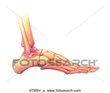 Stock Illustrations Of Foot Lateral View Unlabeled 9795hra Search