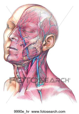 Stock Illustration Of Head And Neck Vein Artery Nerve And Muscle