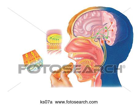 Stock Illustrations Of How You Smell Things From Smell Receptor