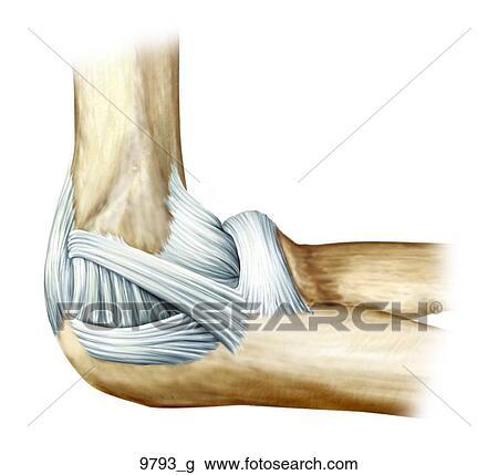 Clip Art - izquierda, codo, ligamentos, medial, unlabeled 9793_g ...