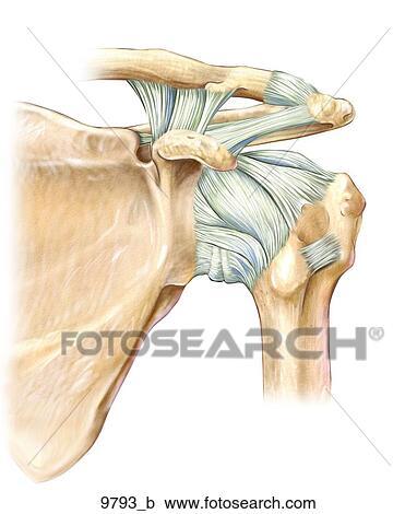 Colección de ilustraciones - izquierda, hombro, ligamentos, anterior ...