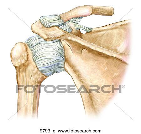 Colección de ilustraciones - izquierda, hombro, ligamentos, trasero ...