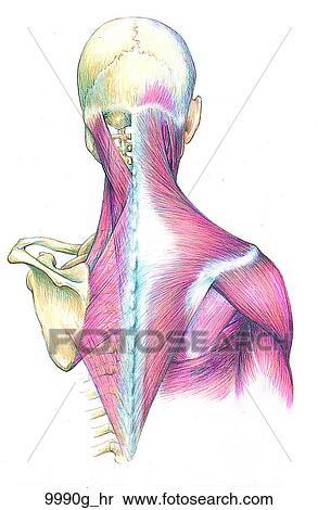 Stock Illustration - kopf, hals, muskel, und, skelettartig ...