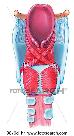 Larynx    Posterior View Unlabeled Stock Illustration   9879d