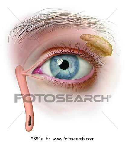 Stock Illustration Of Left Eye Outer Anatomy Unlabeled 9691ahr