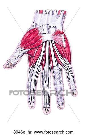 Colección de ilustraciones - músculos, de, mano derecha, unlabeled ...