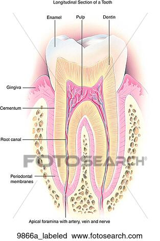 clipart of normal teeth anatomy longitudinal section labeled