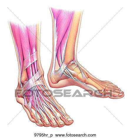 Colección de ilustraciones - pies, con, tendones, y, músculos ...