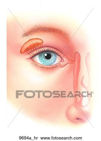 Stock Illustration Of Right Eye Outer Anatomy Unlabeled 9694ahr