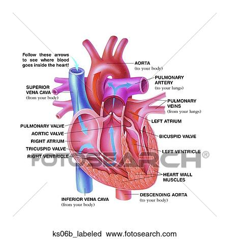 Clipart of Simplified heart anatomy. ks06b_labeled - Search Clip Art ...