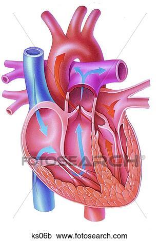 Stock Illustrations of Simplified heart anatomy. ks06b - Search ...