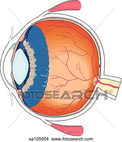 Drawings of cross section of the eyeball to reveal internal anatomy cross section of the eyeball to reveal internal anatomy ccuart Gallery