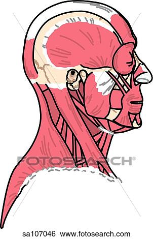 Stock Illustration of Lateral view of the muscles of the body (head ...