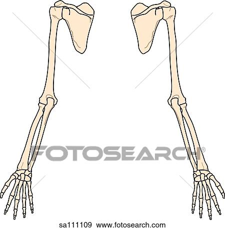 Stock Illustration of Posterior view of the skeletal anatomy of the ...