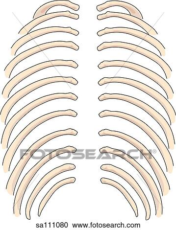 Stock Illustrations of Posterior view of the skeletal anatomy of the ...