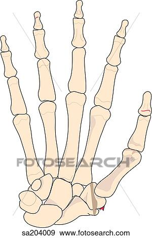 Stock Illustration of Dorsal view of the skeletal structure of the ...