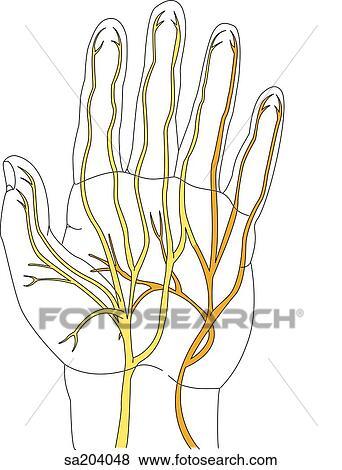 Colección de ilustraciones - palmar, vista, de, el, nervios, de, el ...