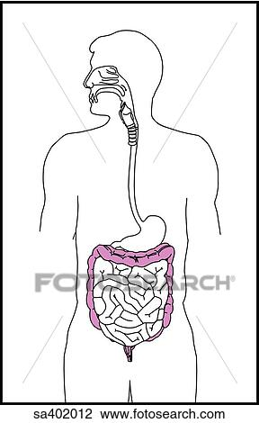 clip art of orientation drawing of the alimentary canal at the large