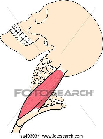 Colección de ilustraciones - vista lateral, de, el, cráneo, y ...
