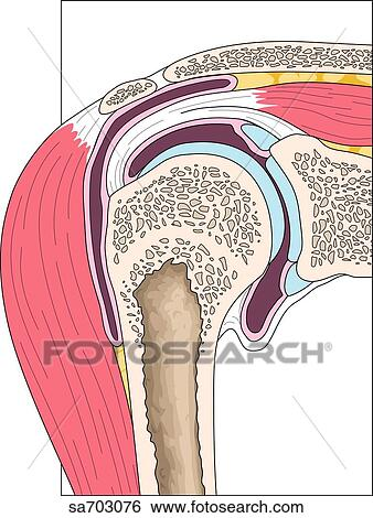 Stock Illustration Of Cross Section Of Shoulder Showing Relative