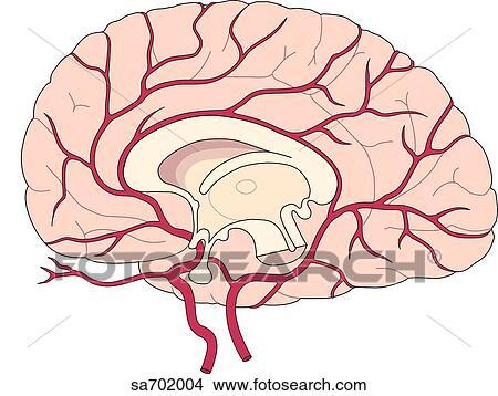 スケッチギャラリー sagittal セクション の 脳 暴露 midsagittal
