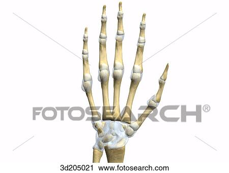 Clipart of Palmar view of the joints of the wrist and hand. 3d205021 ...