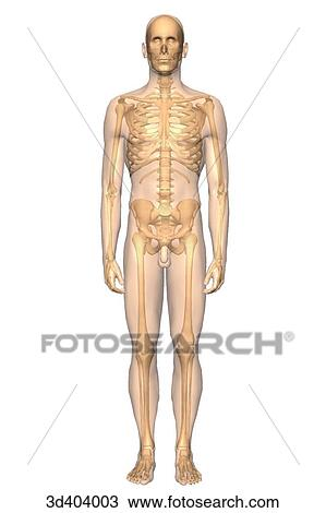 Drawing of Anterior view of the male skeleton with a transparent ...
