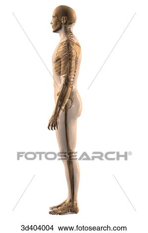 Drawings of Lateral view of the male skeleton with a transparent ...