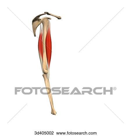 Clip Art of Lateral view of the upper arm showing the biceps and ...