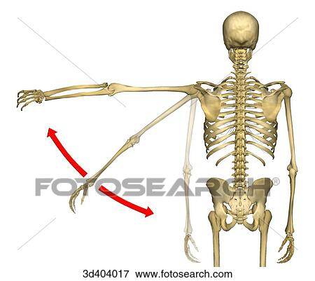 Stock illustration of posterior view of human skeleton from mid posterior view of human skeleton from mid thigh to head with left arm being raised ccuart Image collections