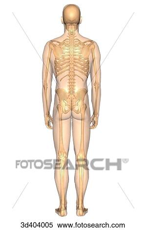 Stock Illustration of Posterior view of the male skeleton with a ...