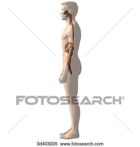 Stock Illustration - seitliche ansicht, von, dass, magen, leber ...