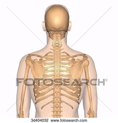 Clip Art - vista posterior, de, macho, esqueleto, dentro, un ...