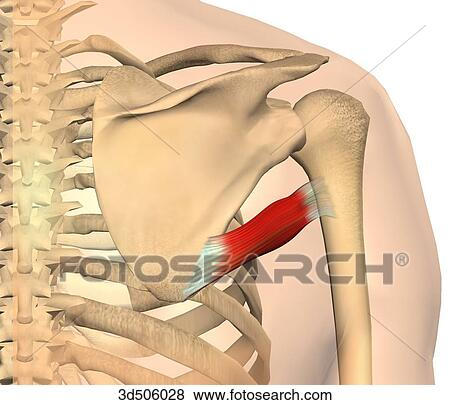 Stock Illustration of Posterior view of the teres major muscle with ...