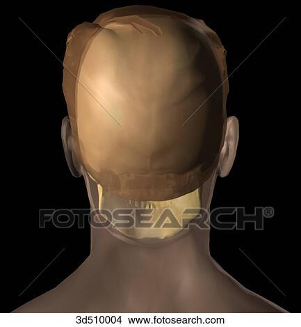 Dibujos - vista posterior, de, un, semitransparent, adulto, cabeza ...