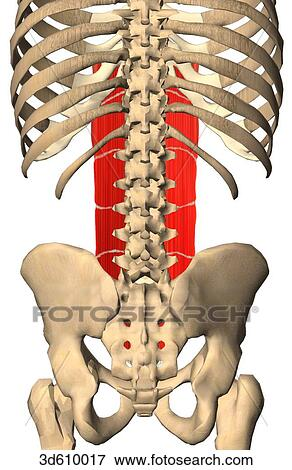 Stock Illustration of Posterior view of the abdominal region ...