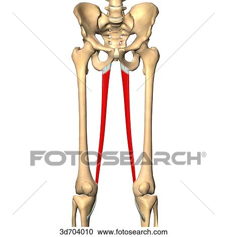 Stock Illustrations of Anterior view of the thigh showing the ...
