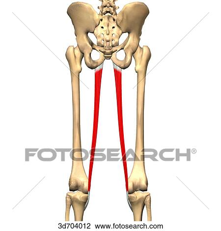 Clip Art of Posterior view of the thigh showing the gracilis muscle ...
