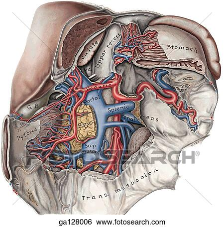 Stock Illustration Of Anterior View Of Posterior Wall Of Omental