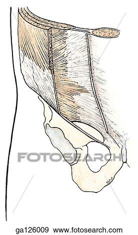 Stock Illustration of Anterior view of the right lower abdominal ...