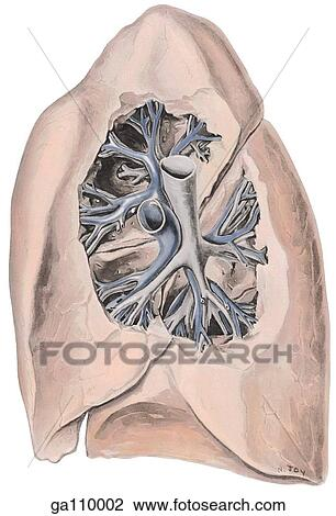 Clip Art of Medial view of the right lung showing the pulmonary ...