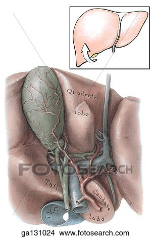 Drawings Of Posterior View Of Porta Hepatis And Cystic Artery The